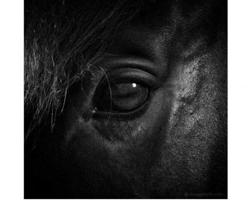 Animalia – Equine